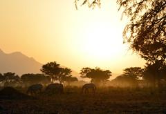 Golden sunrise on the savannah with zebras (supersky77) Tags: sunrise alba zebra savana savannah kidepo uganda africa sole sun haze foschia