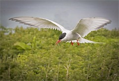 Arctic Tern (cconnor124) Tags: arctictern terns waterbirds birdphotography northumberland farneislands stapleisland wildlife wildlifephotography canon100400lens canon760d