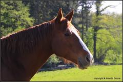 Geniesser auf der Weide (Jolanda Donné) Tags: equus pferd reitpferd freizeitpferd fuchs aufderweide fluchttier huftier einhufer pflanzenfresser fauna tier 24april2015 canoneos650d