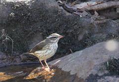 Louisiana Waterthrush at Hacklebarney (Tombo Pixels) Tags: louisiana waterthrush louisianawaterthrush bird hacklebarney170134 hacklebarney nj newjersey twb1 naturewalk2017 blackriver