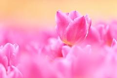 Tulips (Teruhide Tomori) Tags: flower pink spring japan kyoto kyotobotanicalgarden tulip チューリップ 京都 日本 春 花 京都府立植物園 plant garden bokeh