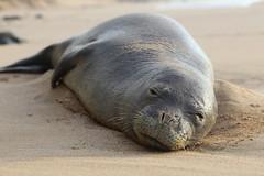 Nap Time (Brickcrazy) Tags: hawaii kauai seal monkseal animals nature outdoors beach
