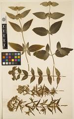 Anglų lietuvių žodynas. Žodis pycnanthemum virginianum reiškia <li>pycnanthemum virginianum</li> lietuviškai.