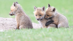 Red Fox Kits (jrlarson67) Tags: red fox kit baby furry wild wildlife nature animal nikon d500 afsnikkor600mmf4gedvr