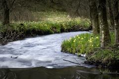 DSC4763 (ste.wi) Tags: perlenbachtal eifel germany nrw green nature outdoor deutschland springtime frühling wald sony ilce6000 alpha6000 1650mmf3556oss bach creek daffodil osterglocke narzisse
