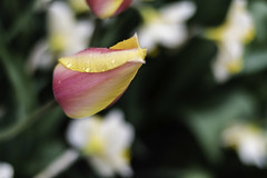 Tulip (Sushil Bal) Tags: tulip skagitvalley nikond500 50mmf18 wa 2017