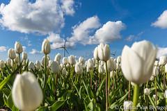 Tulpenveld (Chantal van Breugel) Tags: landschap tulpenveld tulpen bloemenbollen noordoostpolder creil flevoland lente april canon5dmark111 canon1635
