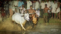 Thrilling photos by Anoop Negi reveal an Indian tradition in the farmlands of Kerala that most people have never seen. (Flickr) Tags: travel india sports action culture kerala racing bulls tradition farmlands anoopnegi theweeklyflickr