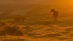 Dartmoor Pony (eye pad) Tags: sunset canon kitlens devon dartmoor goldenlight dartmoorpony eos550d