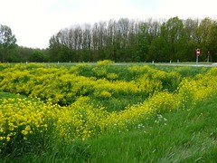 Paas geel !! In explore . (Franc Le Blanc .) Tags: road lumix spring border panasonic geel koolzaad wegberm