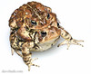American Toad (Bufo americanus) - male and female in amplexus (DaveHuth) Tags: ny spring amphibian toad breeding houghton whitebox americantoad bufoamericanus farmpond amplexus