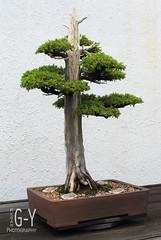 bonsai/penjing (M Greenwald-Yarnell) Tags: tree miniature bonsai nationalarboretum penjing