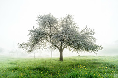 spring manifestation (gregor H) Tags: morning sunlight white tree green misty fog backlight landscape austria spring blossom fresh lonly appletree vorarlberg frastanz