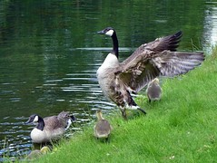 im Brühler Schlosspark (mama knipst!) Tags: animal spring schlosspark tier frühling kanadagans
