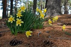 Invasion Under the Pines (Eddie C3) Tags: newyorkcity flowers trees forest bronx urbanforest daffodils narcissus newyorkbotanicalgarden pinusstrobus easternwhitepine