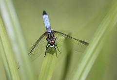 "Dragonfly • <a style=""font-size:0.8em;"" href=""http://www.flickr.com/photos/92887964@N02/14028827648/"" target=""_blank"">View on Flickr</a>"