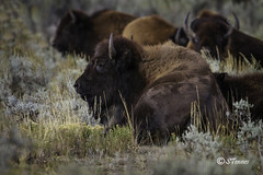 American Bison (sheilatennes) Tags: wild nature animal canon photography buffalo americanbison yellowstonenp