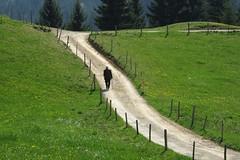 solitude (pix-4-2-day) Tags: mountain green fence bayern bavaria solitude alone loneliness path meadow wiese winding grn zaun einsamkeit weg pfad ascending allgu alleine pix42day ansteigend