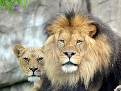 DSC_0031 (2) (Sketchpoet) Tags: zoo parents lion bigcats oregonzoo africanlion