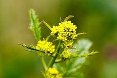 Yellow flower (RunningRalph) Tags: flower nature nederland gelderland waardenburg tbroek