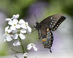Wild and flying flowers-2 (Carolyn Lehrke) Tags: flowers usa nature woods wildlife butterflies wv wildflowers swallowtail greenbriercounty