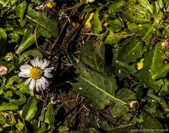 _DSC0102 (Simone Cervarelli) Tags: italy flower reflex nikon italia may campagna fiore picnik margherita maggio santasevera 1maggio d3000