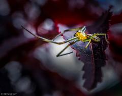 Spider (wigerl) Tags: macro green nature insect sony natur krnten carinthia grn insekt tiffen 30mm feldkirchen nex7 sonynex7