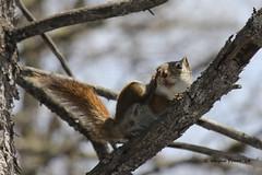 American Red Squirrel (Tamiasciurus hudsonicus) - Hersey Lake Conservation Area - Timmins Ontario Canada (Gerald (Wayne) Prout) Tags: canon squirrels animalia mammalia rodentia sciuridae tamiasciurushudsonicus chordata americanredsquirrel canoneos60d herseylakeconservationarea timminsontariocanada tamissciurus