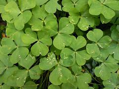 CLOVER (Matas Tellechea) Tags: plants green water agua gotas waters clover clovers trebol treboles