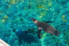 (Tottolandia) Tags: trip vacation españa valencia animal underwater acquarium ciudad artes span ciencias oceanografic ciudaddelasartesylasciencias hemisfèric loveanimals acquarius