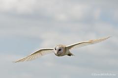 barn owl (sure2talk) Tags: barnowl flight hawkconservancy nikond7000 nikkor70300mmf4556afsifedvr 114picturesin201418special tp882014 thepinnaclehof tphofweek269 tpbirds kanchenjungachallengewinner sitdownlooklisten