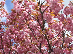 Cherry Blossom (knightbefore_99) Tags: street pink flower tree art fleur vancouver cherry petals spring bc blossom flor burnaby printemps
