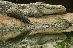Mugger, or Marsh Crocodile (Kirkleyjohn) Tags: marshcrocodile muggercrocodile