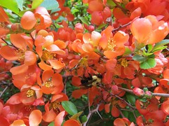Bee On Japanese Flowering Quince (bigbrowneyez) Tags: flowers orange nature beautiful tangerine wings pretty gorgeous branches blossoms natura bee pollen lovely fiori shrub delicate mygarden belli japanesequince bellissimi miogiardino