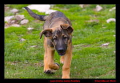 Yoda (Larios252) Tags: canon 2000 perros pastor 70200 efs vallter