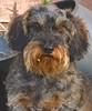Spins (Kenneth Gerlach) Tags: colors copenhagen dachshund wirehaired hund kopenhagen dackel københavn farben sjælland farver gravhund ruhåret