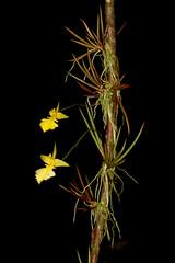 Tolumnia calochila (syn. Oncidium) (Pterodactylus69) Tags: orchid flower fleur flor orquidea orchidee blte herrenhusergrten herrenhausen berggarten herrenhausengardens