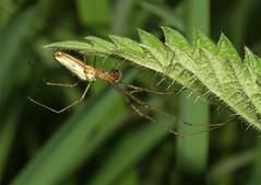 Tetragnatha extensa  (Nick Dean1) Tags: england spider arachnid arthropods arthropoda orbweaver arthropod arachnidae tetragnathaextensa
