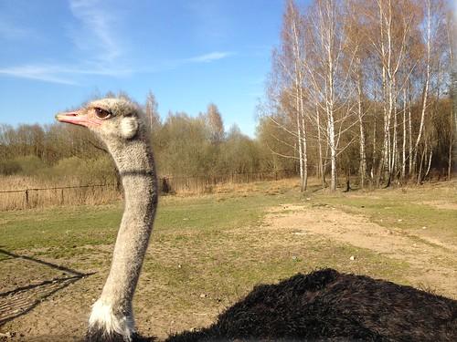 Dudutki: The Ostrich
