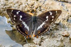 Purple Emperor Butterfly (Apatura iris) (BiteYourBum.Com Photography) Tags: wood uk blue england forest butterfly purple unitedkingdom reserve canonef1740mmf4lusm godalming emperor dunsfold ipad chiddingfold canonefs60mmf28macrousm oaken apaturairis biteyourbum purpleemperorbutterfly canoneos7d appleipad dawnandjim canonspeedlite430exii sigma50500mmf4563dgoshsm loweproprorunner350aw chiddingfoldforest biteyourbumcom camranger oakenwoodbutterflyreserve