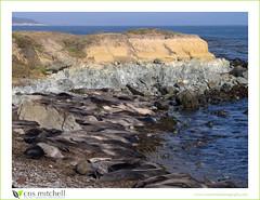 San Simeon Rookery (Cris Mitchell) Tags: blackandwhite elephant seals sansimeon sanluisobispo rookery 150mm crismitchell pentax645d
