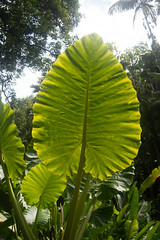 hawaii tropical botanic gardens (AS500) Tags: gardens island hawaii leaf big tropical botanic