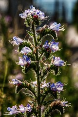 """More """"Weeds"""" (Elliott Bignell) Tags: flowers blue flower backlight schweiz switzerland weeds suisse ostschweiz railway sbb bloom backlit svizzera rheintal bahn radweg rhinevalley bahngleise sargans"""