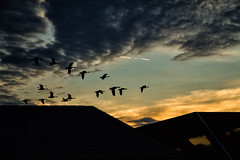 Last light of the day. (Gabriela Stevens) Tags: sunset geese darkclouds flockofbirds flyingbirds