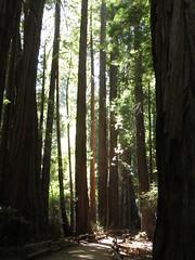Sequoias and Sunlight at Muir Woods (jdmonin) Tags: muirwoods redwood sequoia