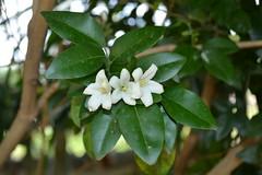 Murraya paniculata (Ventilago) Tags: whiteflowers murraya rutaceae murrayapaniculata