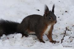 Eichhörnchen unweit des Lej da Staz (St. Moritz) (2014-02-21 -42) (Cary Greisch) Tags: switzerland che eichhörnchen stmoritz écureuil oberengadin grischun lejdastaz kantongraubünden carygreisch engiadin'ota