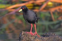 Black Crake (Amaurornis flavirostra) (Ian N. White) Tags: gaborone botswana blackcrake amaurornisflavirostris amaurornisflavirostra