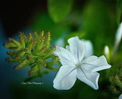 Blue Jasmine (Terezaki ) Tags: searchthebest pictureperfect naturesfinest anawesomeshot flickrdiamond theperfectphotographer natureselegantshots