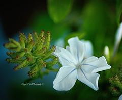 Blue Jasmine (Terezaki ) Tags: searchthebest pictureperfect naturesfinest anawesomeshot flickrdiamond theperfectphotographer natureselegantshots